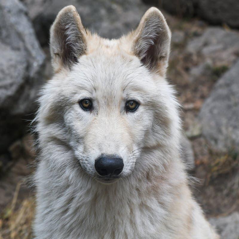 Волк, волчанка волка Tundrarum, млекопитающее, Saarloos Wolfdog