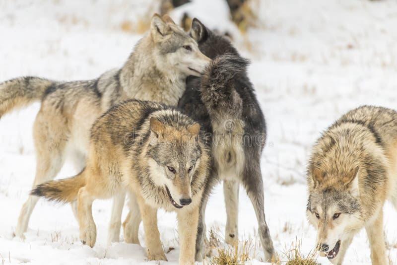 Tundrowi wilki obrazy stock