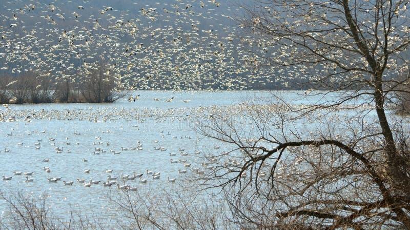 Tundrowy łabędź i śnieżne gąski przesiedleńczy zdjęcie stock