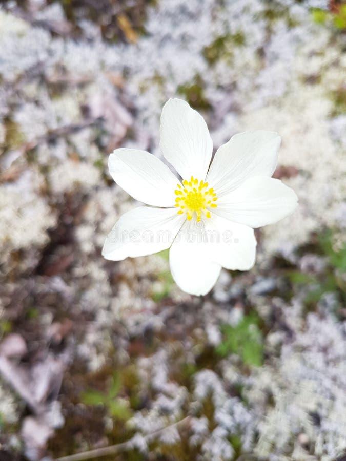 Tundrowy kwiat w Alaska zdjęcia stock