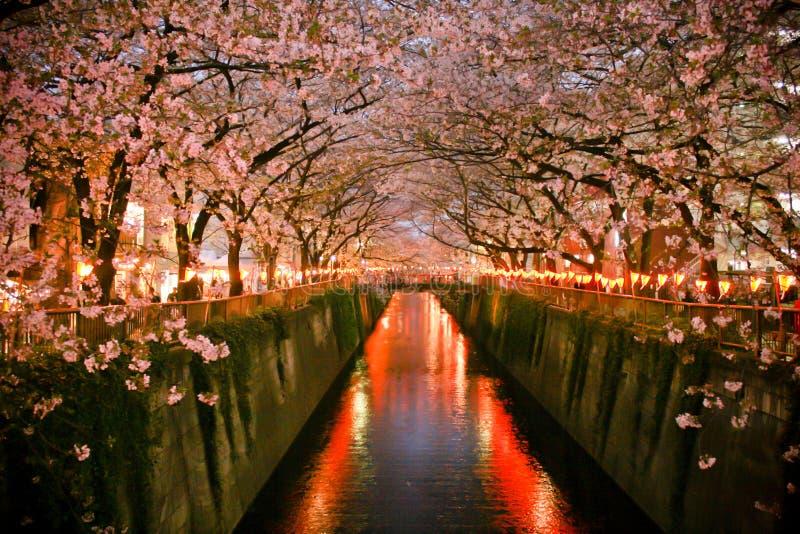 Tunel Czereśniowy okwitnięcie Japonia (Sakura kwitnienie) obraz stock