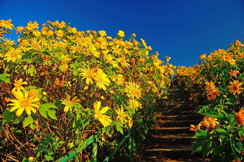 Tung Bua Tong Mexican sunflower under blue sky in Maehongson stock images