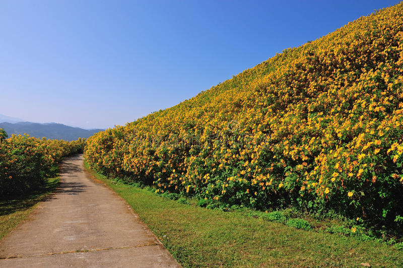 Tung Bua Tong Mexican sunflower under blue sky in Maehongson royalty free stock photo