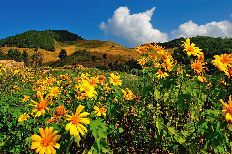 Tung Bua Tong Mexican sunflower under blue sky in Maehongson stock image
