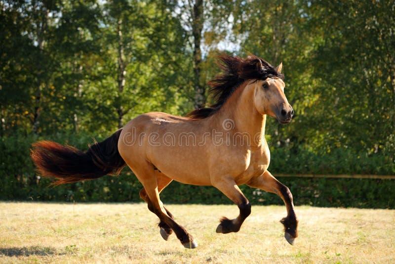 Tung galopp för spring för utkasthäst i ett fält royaltyfria bilder