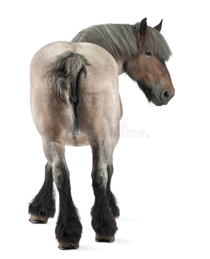 tung häst för belgisk brabancon fotografering för bildbyråer