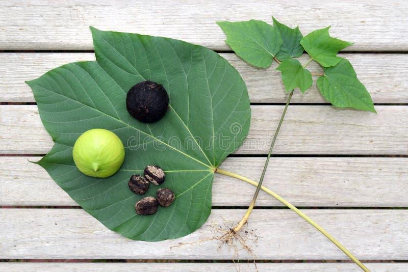 Tung Oil Leaf, fröskida och muttrar royaltyfri foto