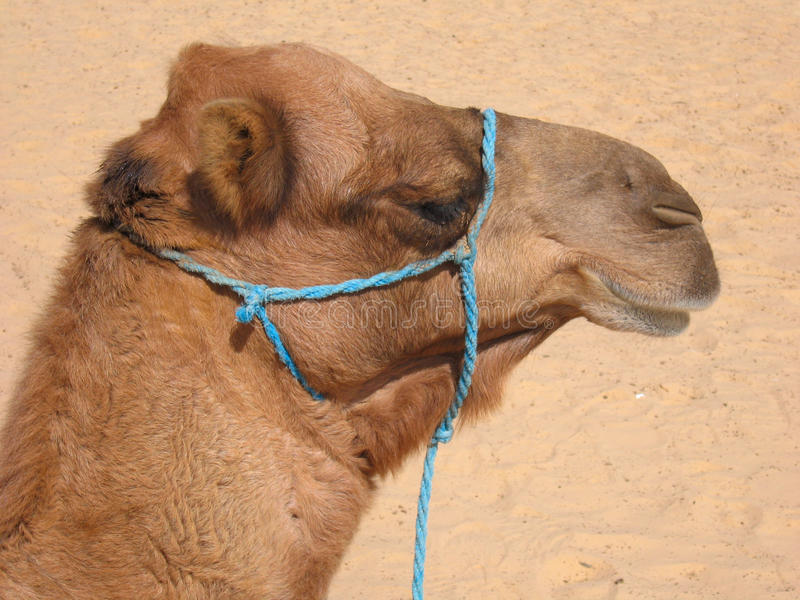 Download Tunisian camel stock image. Image of arabian, journey - 12793839