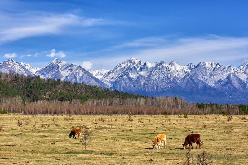 Tunka dolina fartuch Łydki Buryat mięsny traken pasają w łące zdjęcie stock