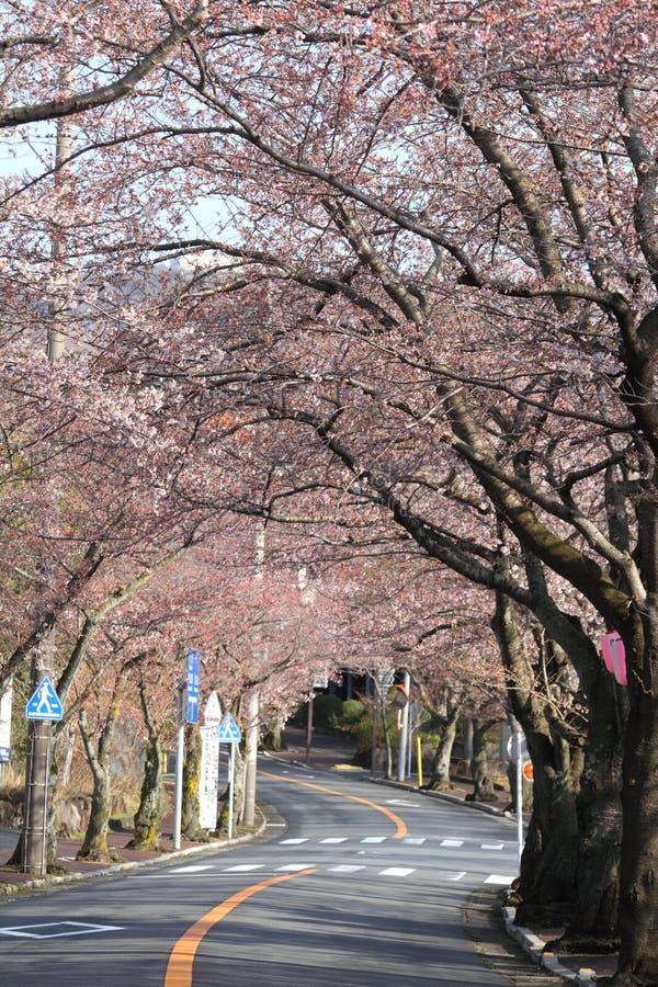 Tunnel av den körsbärsröda blomningen i den Izu höglandet arkivfoton