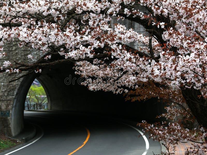 Tunnel avec des fleurs de cerisier au printemps photographie stock