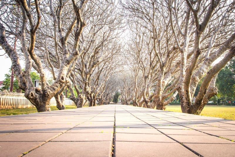 Tunnel d'arbre de Frangipani photographie stock libre de droits