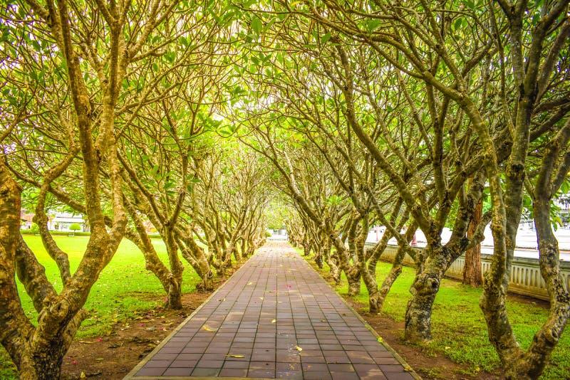 Tunnel d'arbre, arbre de frangipani, voie remplie d'arbre images stock