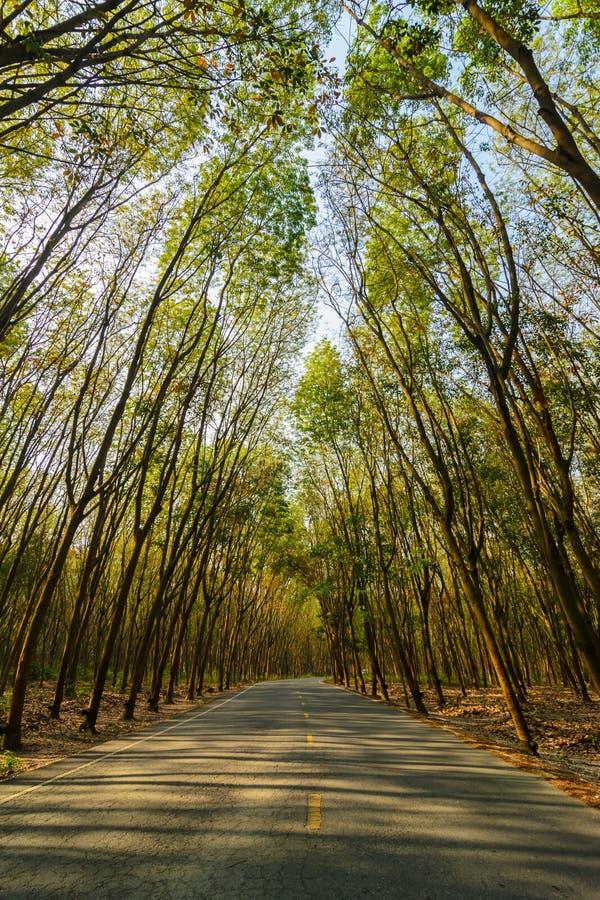 Tunnel d'arbre des arbres en caoutchouc photo stock