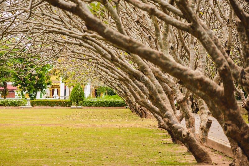 Tunnel d'arbre sec d'arbre ou de Frangipani de Plumeria avec la manière de marche photographie stock