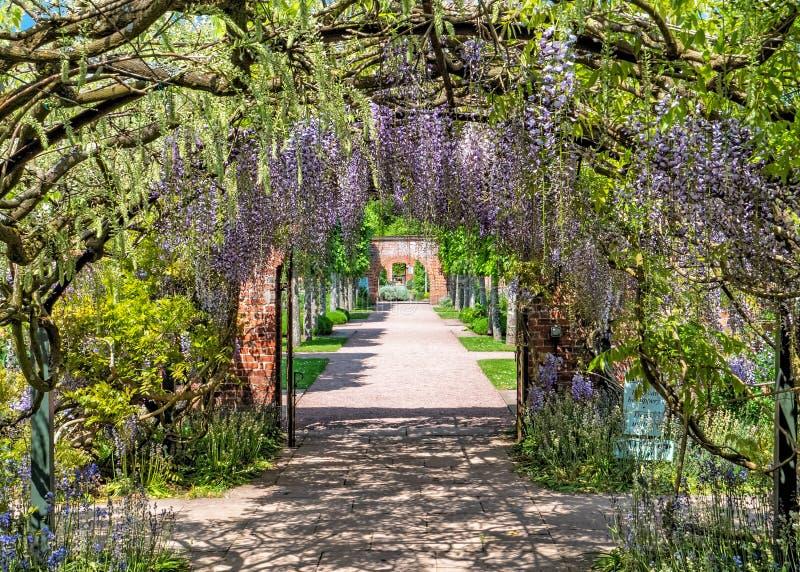 Tunnel de glycine chez Hampton Court Castle, Herefordshire, Angleterre photographie stock libre de droits