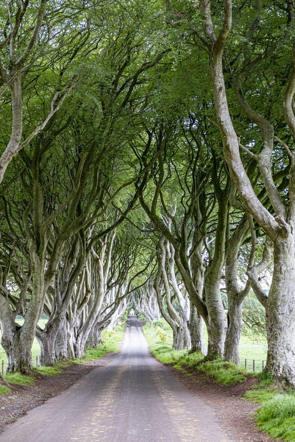 Tunnel dell'albero di faggio immagine stock libera da diritti