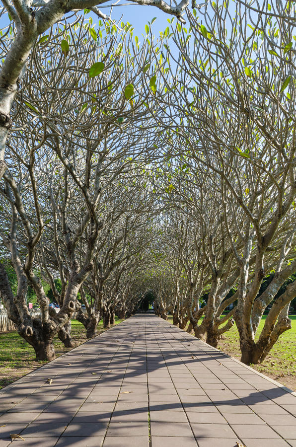 Tunnel et voie d'arbre de Frangipani à Nan Thaïlande photos libres de droits