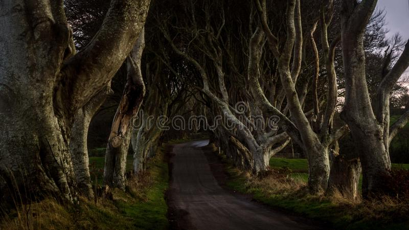 Tunnel-like avenue of intertwined beech trees called Dark Hedges, Northern Ireland stock image