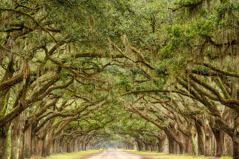 Tunnel of Live Oak Trees. Live Oak trees with spanish moss line a road in Savannah, Georgia stock photos