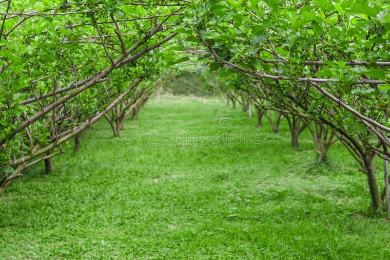 Tunnel of mulberry tree. Tunnel of mulberry tree with walk way stock photos