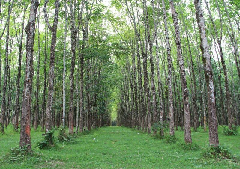 Tunnel von den Bäumen, die endlos ausdehnen stockbild