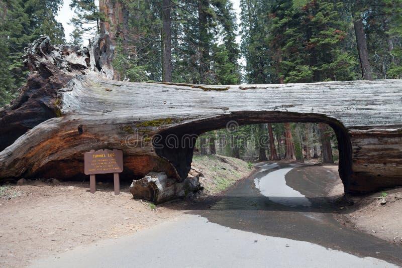Tunnelinloggning som sequoiaen parkerar fotografering för bildbyråer