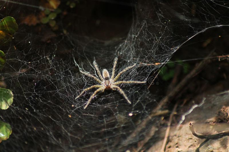 TunnelWeb spider stockfotos
