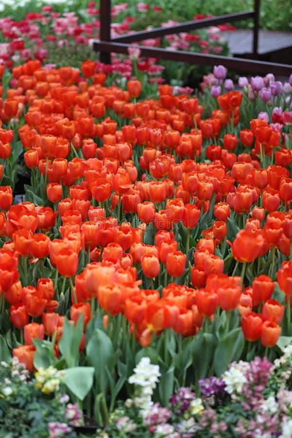 Tuplips vermelhos fotografia de stock
