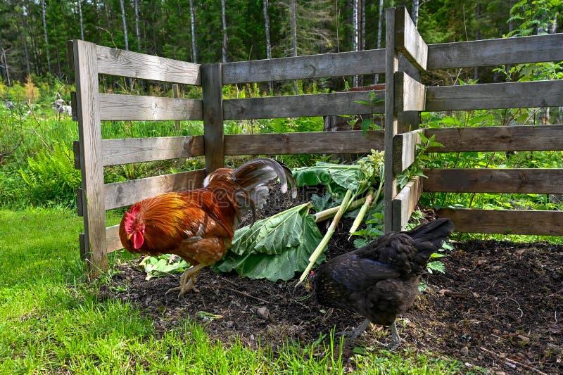 Tupp och höna som äter i trädgårdkompost arkivbilder