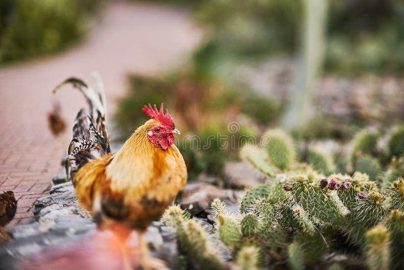 Tupp och kaktus royaltyfri foto
