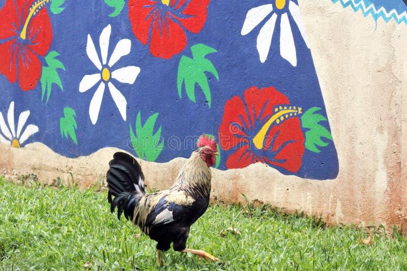 Tupp som gal i den Rarotonga kocken Islands arkivfoton