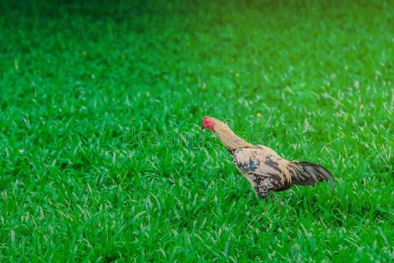 Tuppen och hönan kopplar av och finna mat fotografering för bildbyråer