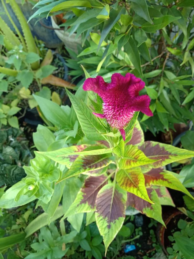 Tuppkammen kinesisk ull blommar, Celosiaargenteaen L var cristata L Kuntze royaltyfri foto