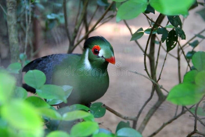 Turaco - одичалая зеленая птица стоковые фото