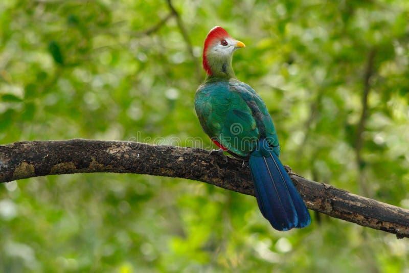 Turaco de cresta roja, erythrolophus de Tauraco, pájaro verde coloreado raro con la cabeza roja, en hábitat de la naturaleza Tura foto de archivo libre de regalías
