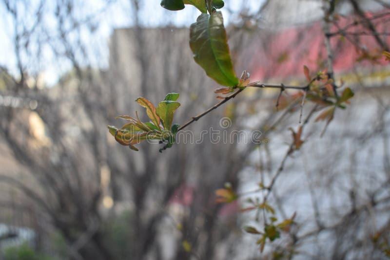 Turbina un melograno in primavera fotografia stock
