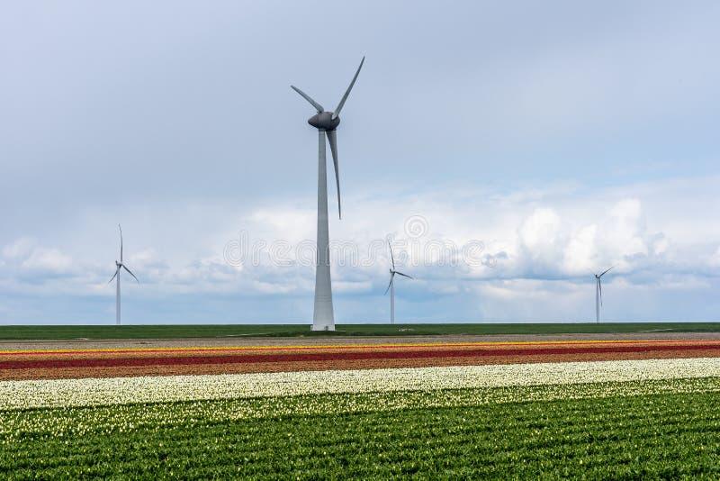 Turbines de vent dans un domaine coloré de tulipe Le champ d'ampoule atteint l'horizon, quatre turbines de vent sont évident images libres de droits