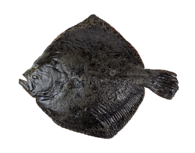 Download Turbot fish stock image. Image of isolated, fish, maxima - 17051591