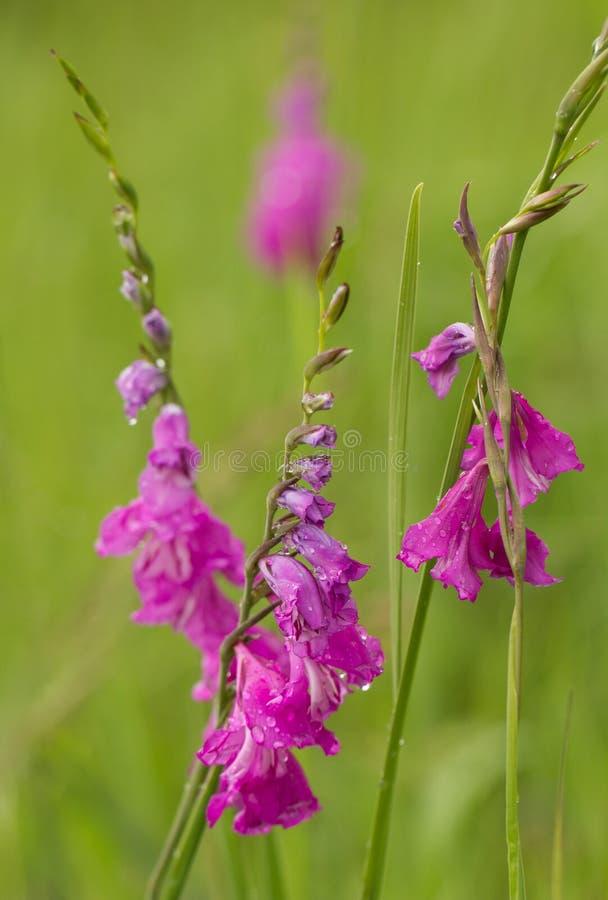 Turco Marsh Gladiolus - imbricatus di gladiolo fotografia stock