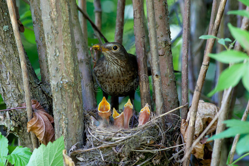 Turdus merula, Blackbird. The Blackbird (urdus merula) at a nest with hungry baby birds royalty free stock photo