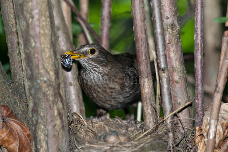 Turdus merula, Blackbird. The Blackbird (urdus merula) at a nest with hungry baby birds royalty free stock photos