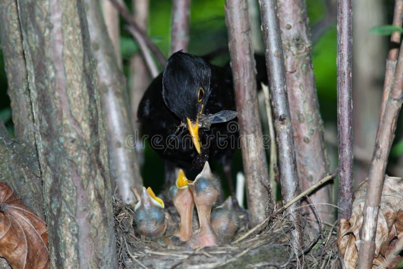 Turdus merula, Blackbird. The Blackbird (urdus merula) at a nest with hungry baby birds stock image