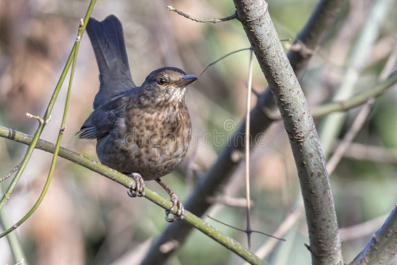 Turdus merula common blackbird female royalty free stock photography