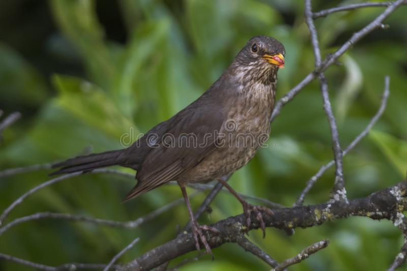 Turdus merula common blackbird female with worms in its beak royalty free stock images