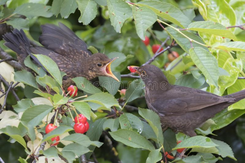 Turdus merula common blackbird give food at her puppy royalty free stock image