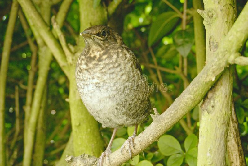 Turdus merula. Young fledgling blackbird sitting in a hedge royalty free stock image