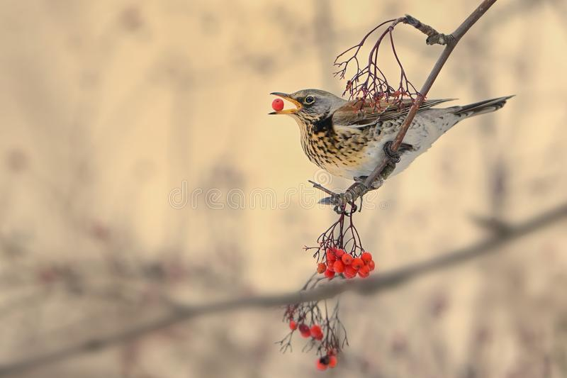 Turdus pilaris - Fieldfare stock images