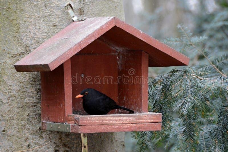 Turdusmerula i skogen i förlagemataren för fåglar arkivbild