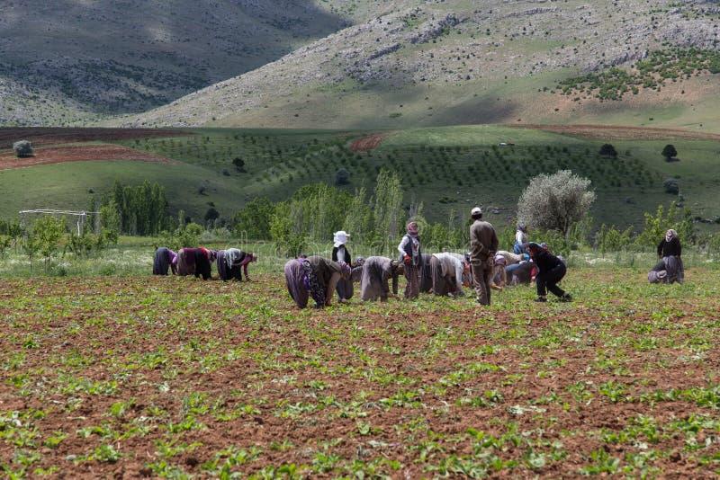 Tureccy rolniczy pracownicy w Adana, indyk obraz stock